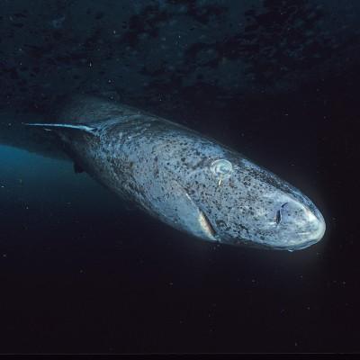 """Rediff du S02E28 Requin du Groenland: le """"Mathusalem"""" des vertébrés, René Heuzey (réalisateur) cover"""