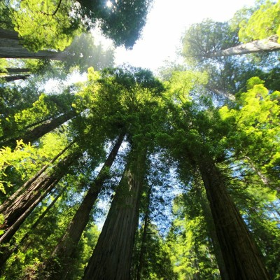 Cette semaine sur Nomen : S01E04 Pin et conifères: les arbres de tous les records cover