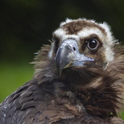 Rediff S02E73 Rapaces 4/10: Les vautours français et européens, Jean Andrieux (écologue) cover