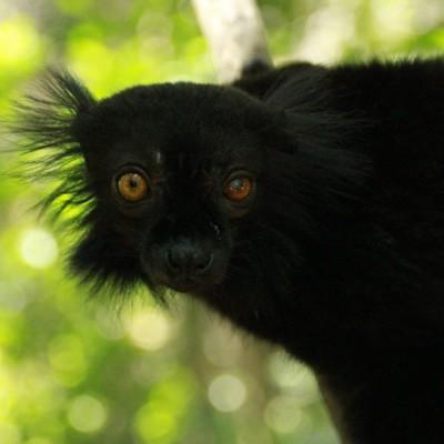 image Les Lémuriens Sacrés de Madagascar