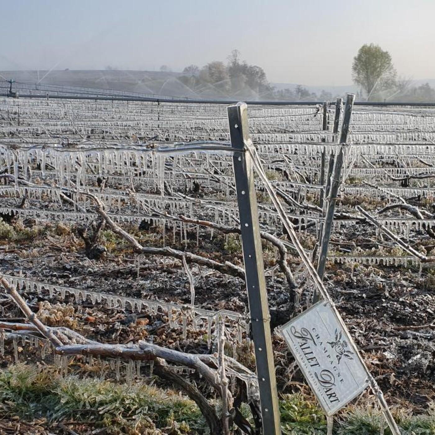 Le Chiffre du jour, 80% des vignobles Français touchés par le gel - 09 04 21 - StereoChic Radio