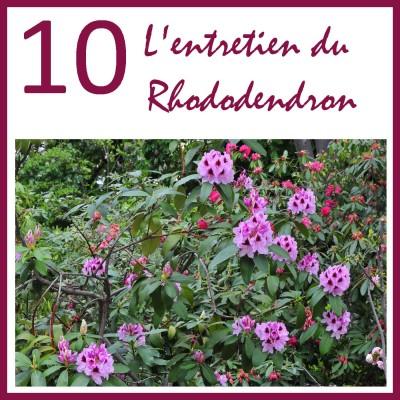 Entretien du rhododendron cover