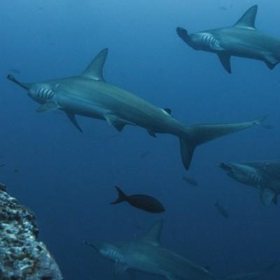 Rediff du S02E05 Requins 1/2: de la passion à la protection, Cyrielle Houard cover