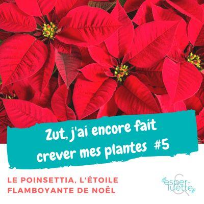 image Le Poinsettia - Chronique 'Zut j'ai encore fait crever mes plantes'