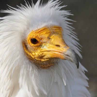 RediffS02E72 Rapaces 3/10: Les vautours, survol des bases, Jean Andrieux (écologue) cover