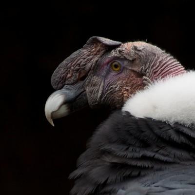 S02E75 Rapaces 6/10, les vautours du Nouveau Monde, Jean Andrieux (écologue) cover