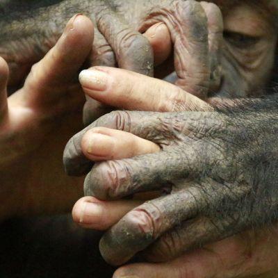 image Ma vie de nounou pour bébés chimpanzés