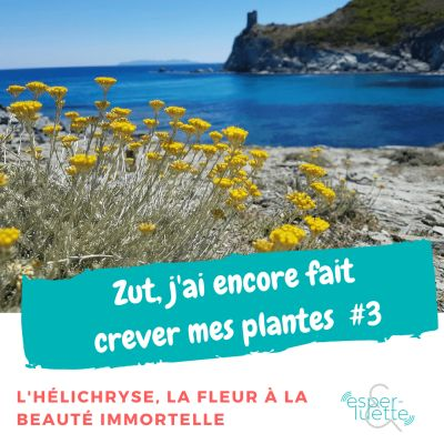 image L'hélichryse  - Chronique 'Zut j'ai encore fait crever mes plantes'
