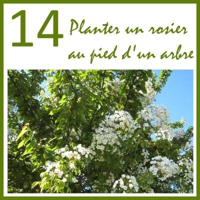 Planter un rosier au pied d'un arbre cover