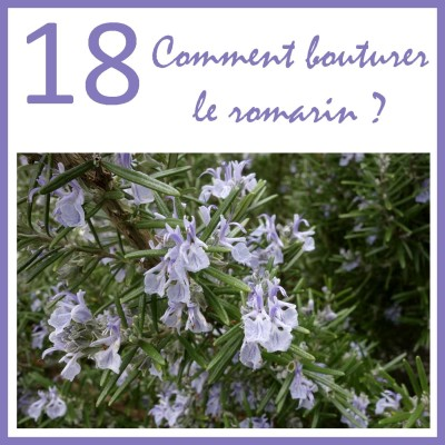 Comment bouturer le romarin ? cover