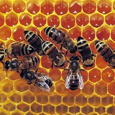 S01E07 Invention de l'alvéole: pas folle l'abeille! cover