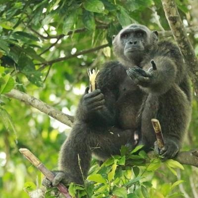 Wild - L'école à la maison #5 - Les Chimpanzés cover