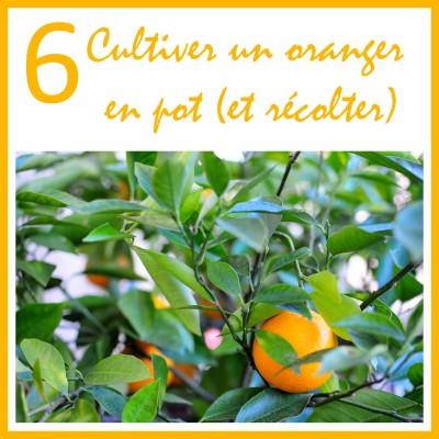 Cultiver un oranger en pot cover